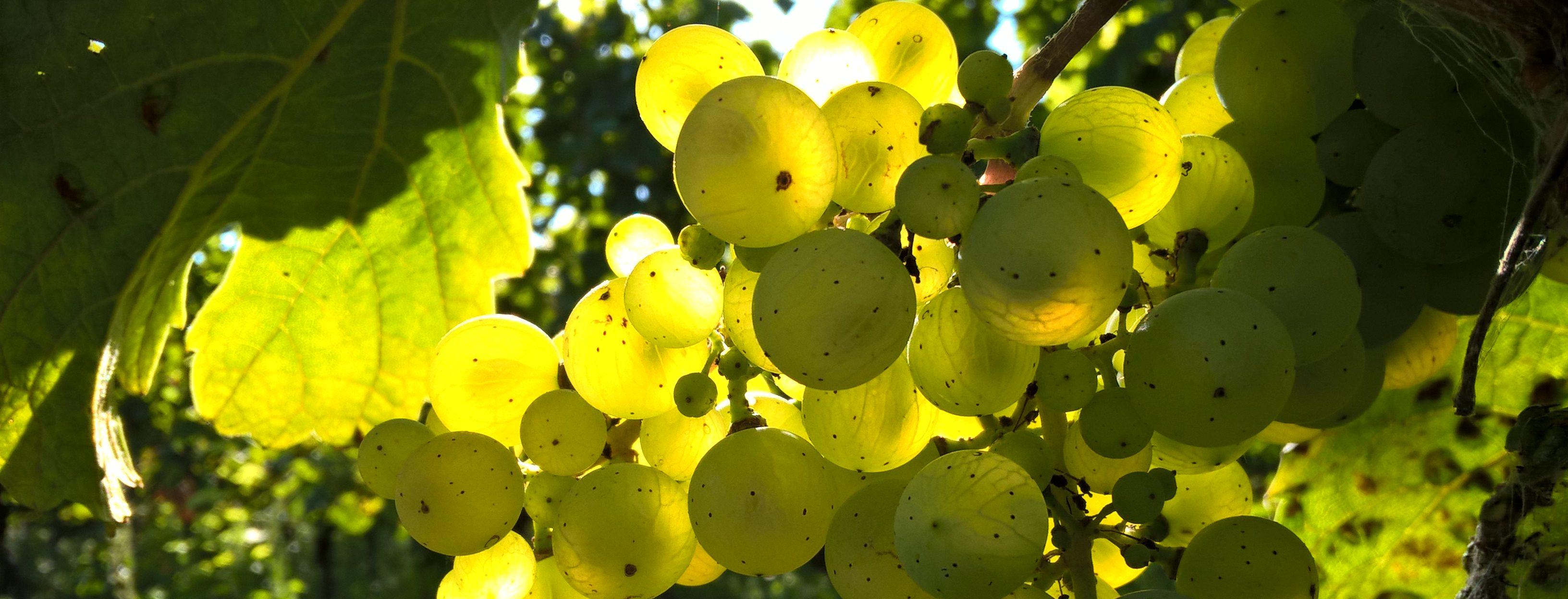 Weintraube am Stock - Gegenlichtaufnahme